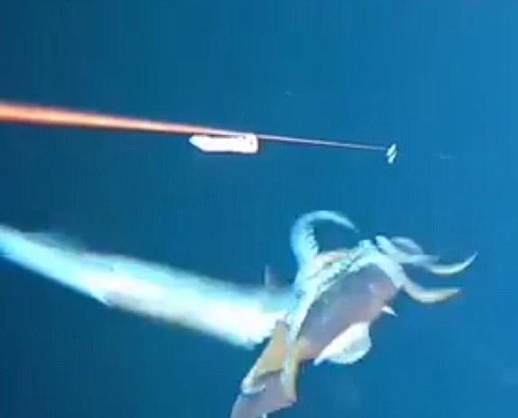 视频中,一只体型较小的乌贼咬住了鱼钩上的诱饵,当它挣脱了鱼钩的束缚时,惊人的一幕发生了,另一只体型较大的乌贼以闪电般的速度咬住了它,并迅速拖着猎物离开了摄像机的视野。