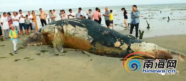 昌海滩发现一头死鲸鱼,初步判断是随洋流而来。网友供图