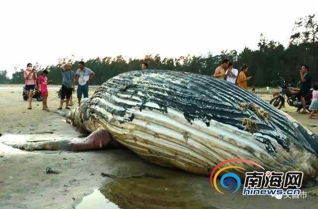 昌海滩发现一头死鲸鱼 初步判断是随洋流而来。网友供图