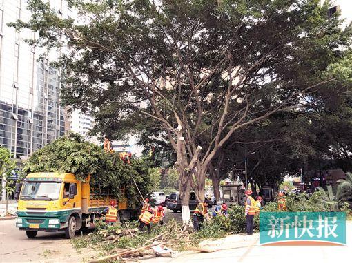广州砍掉几百棵十年榕树换种白兰居民心痛(图)