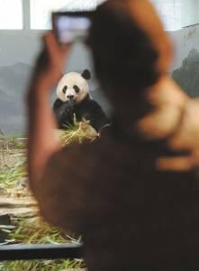一名游客拍摄大熊猫。