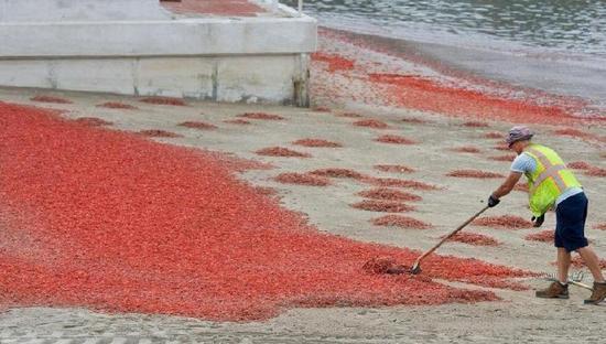 """中国青年网消息 图中可不是过节后的鞭炮碎屑,也不是红叶,而是千万小龙虾组成的""""入侵大军""""。"""
