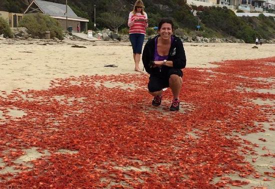 接下来的半个月内,不断有小龙虾被冲到海滩上,临近城市的居民都纷纷前来围观。