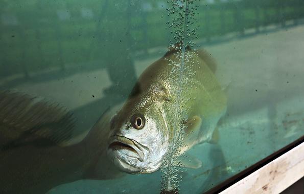 黄唇鱼 东方IC 资料图