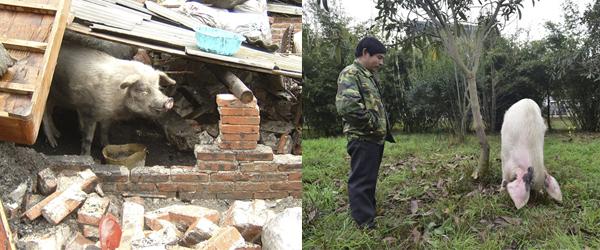 """左:2008年6月,四川彭州龙门山镇团山村,被埋36天后,""""猪坚强""""获救,体重已从原来的150公斤减到50公斤。 东方IC 资料图"""