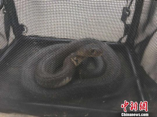 图为缴获的孟加拉眼镜蛇。 钟欣 摄