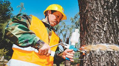 工人正为柳树注射花芽抑制剂,用这个办法达到抑制飞絮的目的。贺勇 摄