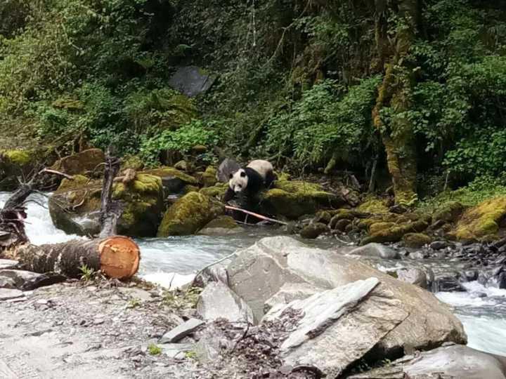 四川宝兴再现野生熊猫河边喝水发现有人转身就跑