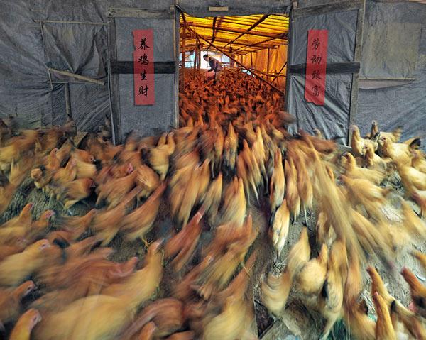 郭建平-养鸡生财