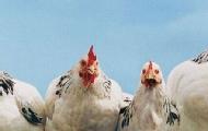 """天价""""跑步鸡""""背后的秘密"""