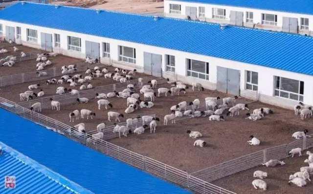 内蒙古乌兰察布市四子王旗一家畜牧业公司养殖基地内的羊群(2015年10月23日摄)。地处内蒙古中部的乌兰察布市积极发展生态型草原畜牧业新模式,通过合理的草原轮牧与集中舍饲相结合,加快发展农区畜牧业;通过草原牧民与大型畜牧业公司的合作,实现养殖业的集约化生产,大大提高了草原的自我修复能力。新华社记者 连振 摄