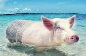 巴哈马的游泳猪