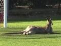 袋鼠入侵澳洲女足赛场 球员惊慌袋鼠稳坐门前
