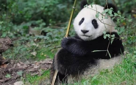 掌门1对1举办熊猫庆生主题公益活动 守护佛坪熊猫成长