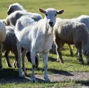奇不奇怪 常山老农得了和英国士兵一样的病:原因是羊