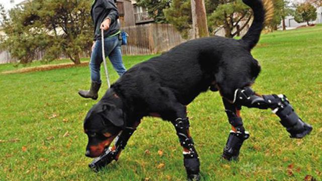 动物装假肢!仿生学真的可以对抗残疾吗