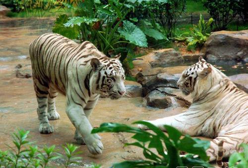 長隆酒店 白老虎的圖片搜尋結果