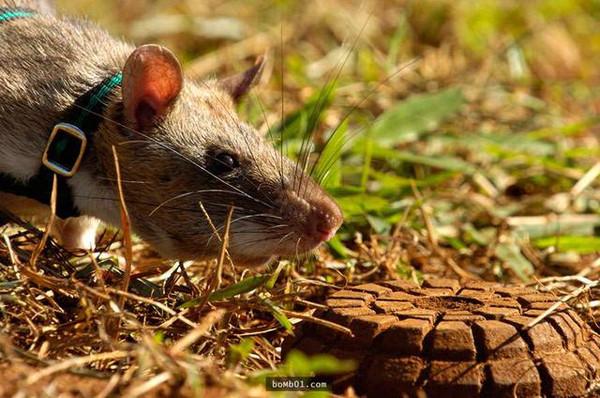 此前,人们曾在坦桑尼亚利用非洲巨鼠来搜寻地雷.图片来源:wordpress.