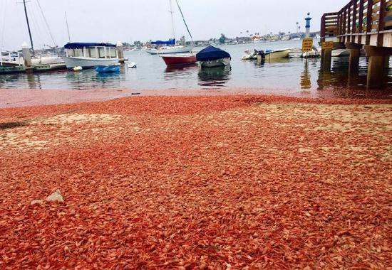 这一幕发生在加州的南海附近,正片沙滩都被密密麻麻麻的小龙虾覆盖。